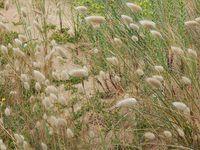 thyma serpolet, liseron des sables, chardon bleu, giroflée des dunes, queue de lapin, et des allium... il me manque le curieux pavot cornu !