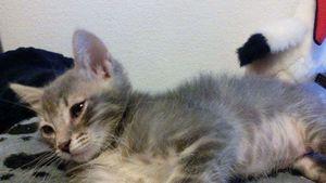 Maguy, chaton femelle grise, à l'adoption -> adoptée