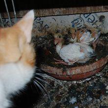 Ichat et deux pigeonneaux blancs