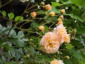 Rosier Ghislaine de Féligonde et Pink Grootendorst