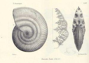 Strigoceras truelli