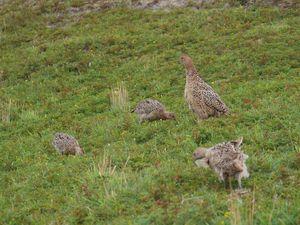 Dernier album : faisans en famille, lièvres (cherchez tous les lièvres sur la première photo ainsi que la cigogne) et paon de jour