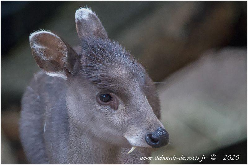 Les bois des élaphodes mâles sont très courts et cachés au milieu d'une touffe de poil qui se dresse sur le sommet de leur tête. Les oreilles sont bordées de blancs, alors que les canines supérieures sont relativement longues.