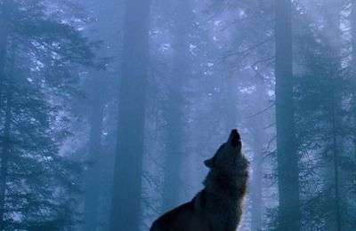 Loup - Nuit - Forêt - I-phone - Picture- Free