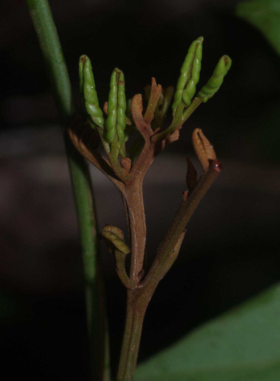 Tachigali albiflora