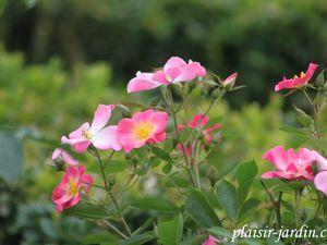 Le rosier 'Elegante Danseuse'