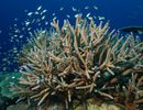 Seize espèces de coraux protégées aux Antilles françaises