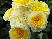 Rosiers de Warren 'Blushed Yellow', 'Pure Liberté' et 'Mystery Yellow'