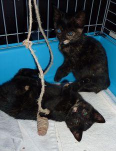 Deux chatons femelles écaille de tortue à adopter -> adoptées