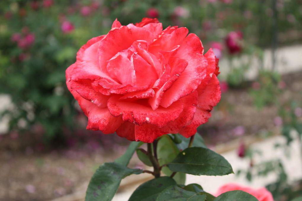 photo ajp l hay les roses 26 05 2018