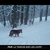 """Film : Jean-Michel Bertrand """"Marche avec les loups"""" - Le Journal du week-end   TF1"""