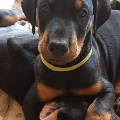 Two Awesome Dobermann Puppies  Beautiful Dobermann puppies