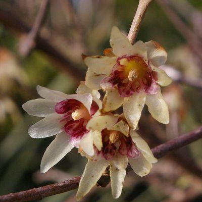 304 - La saison de Chimonanthus praecox