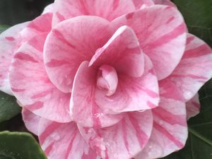 Octobre Rose - Pensée du jour