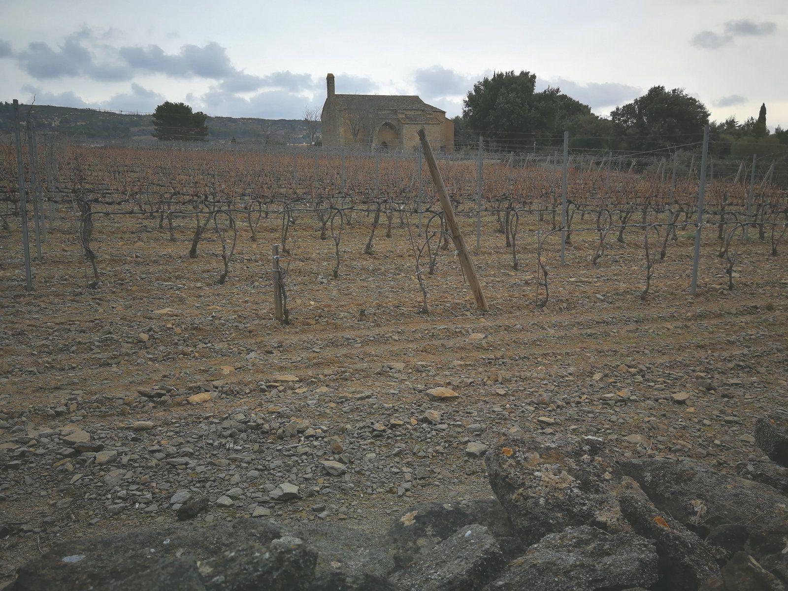 Siran, 20 janvier 2021: des vignes en garrigue
