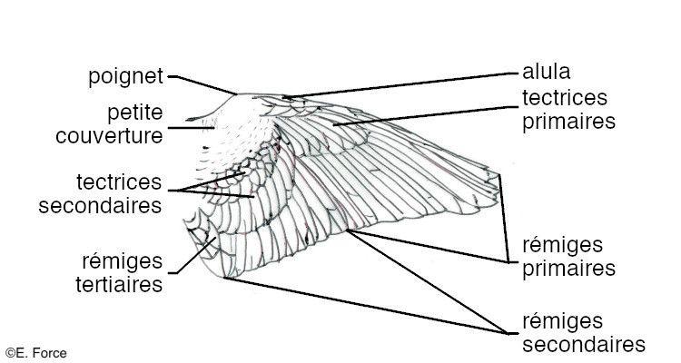 Anatomie externe d'une aile d'Oiseau en vue dorsale (illustration : E. Force).