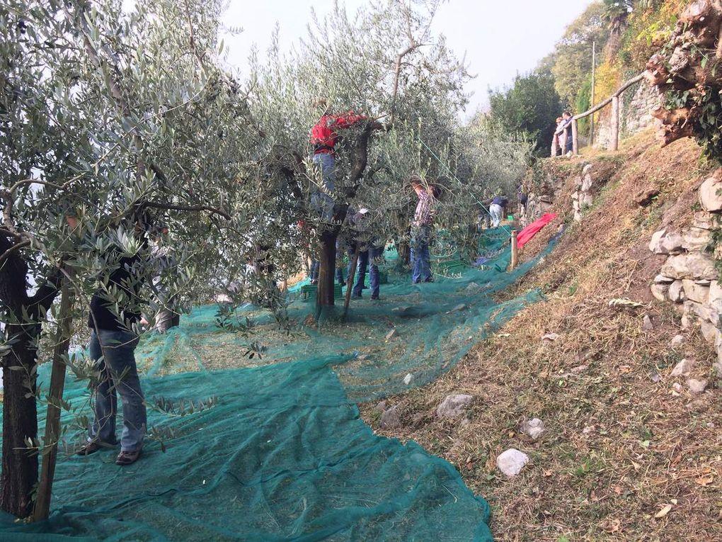 Raccolta olive 2017: le foto, le cifre e una visita
