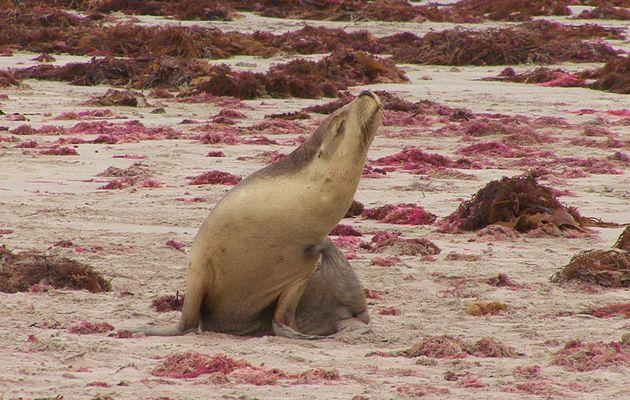 Australia : Kangaroo Island, Seal Bay, Lions De Mer..