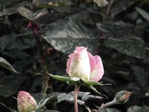Des roses du vendredi dernier.