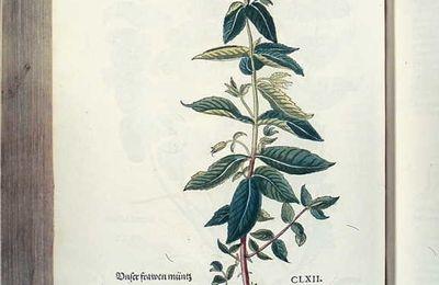 """La menthe, une plante """"miracle"""" au quotidien ?"""