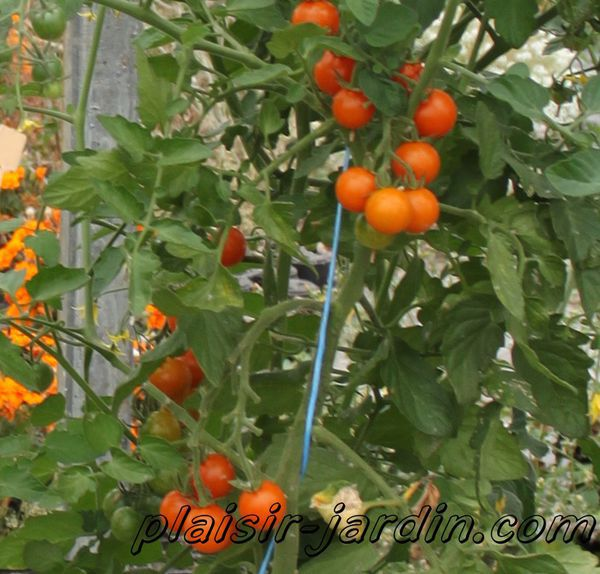 Tomate 'Sungold'