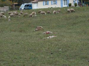 La nouvelle attaque de loups qui a eu lieu la nuit du 21 au 22 octobre sur le troupeau de Bernard Groulet, s'est produite cette fois tout à côté des maisons des Iscles.