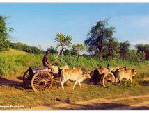 Attelage dans la région du Mont Popa en Birmanie
