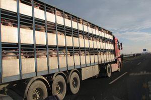 Stop aux longs transports d'animaux vivants !
