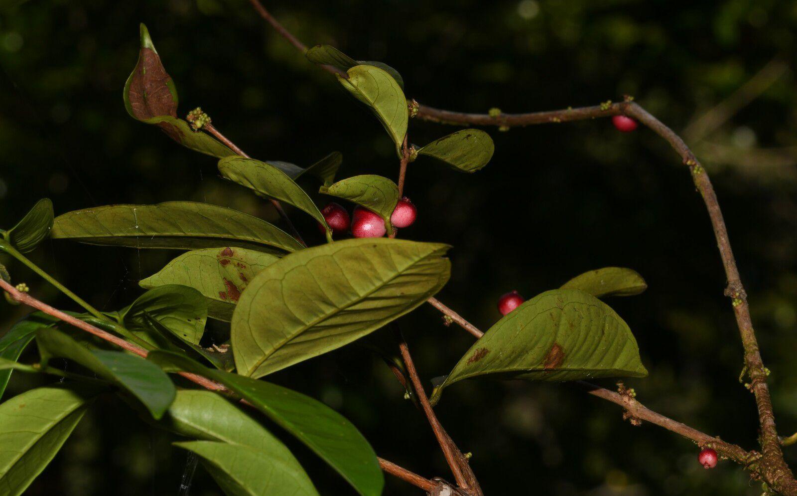 Eugenia coffeifolia