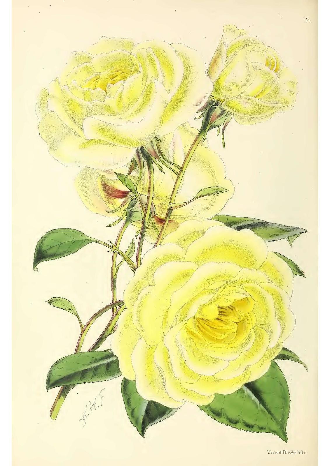 planche 64  dans Floral Magazine vol 01 de 1861