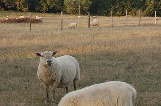 Vive la culture ou la belle histoire du mouton
