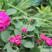 Les rosiers de Damas - plaisir-jardin.com