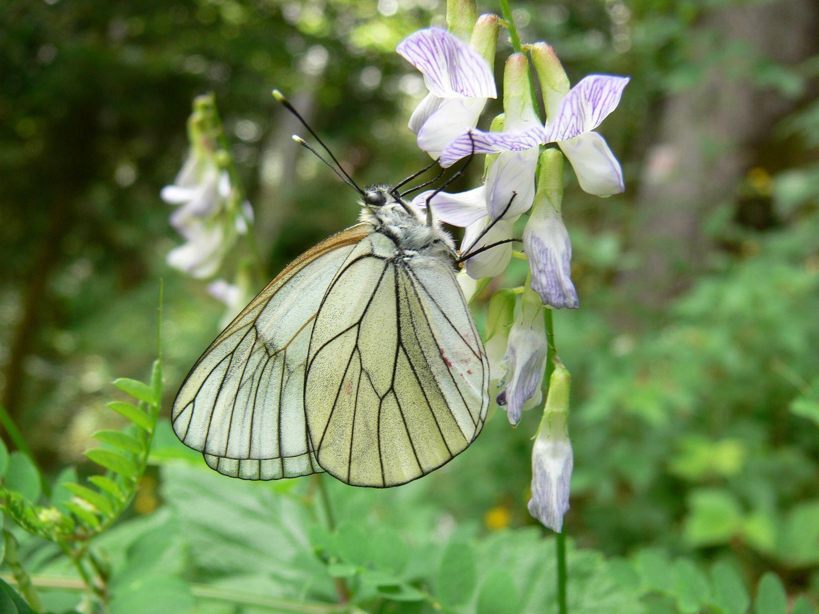 Spirée filipendule, Filipendula hexopetala : Cévennes -Vesce des bois, Vicia sylvatica : Seythenex (74)