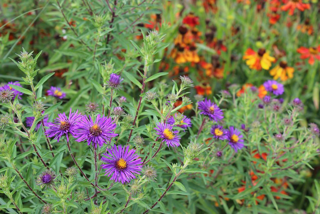 Aster Barrs'blue