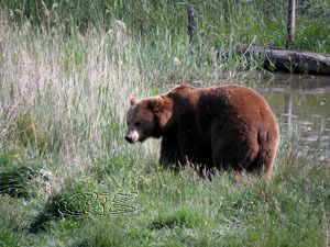 Parc de Ste-Croix - les ours bruns
