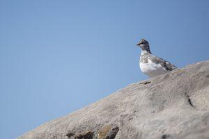 Journal du Couvre-feu/J.23 ''Le lagopède alpin, un oiseau d'altitude blanc comme neige''