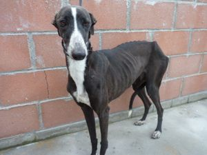 chien lévrier galgo a adopter