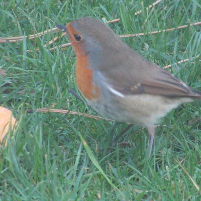 Un oiseau peu craintif :le rouge-gorge ...