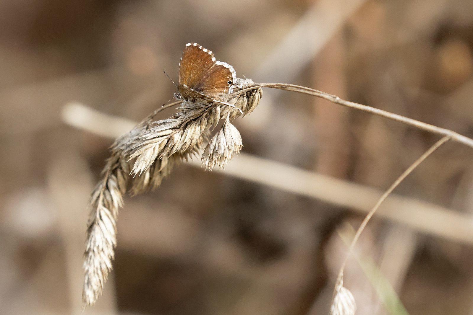 Brun des pélargoniums