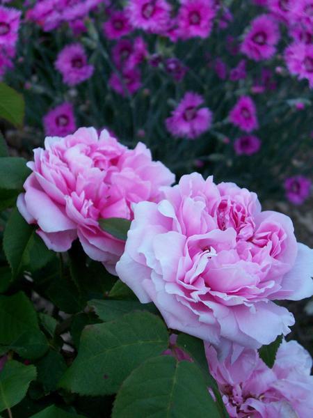 Album - roses & rosiers