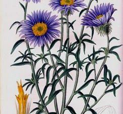 Les asters