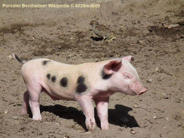 Porc de Bentheim