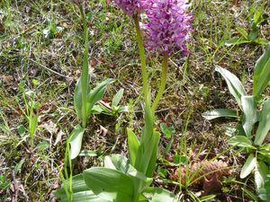 Premières orchidées : Orchis singe
