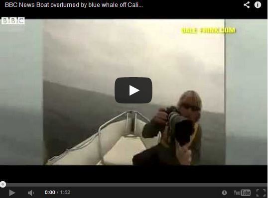 Vidéo - une baleine bleue retourne un semi-rigide en pleine séance photo