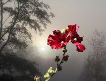 Rose trémière dans la brume_56