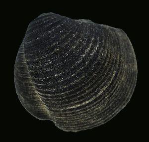 Divaricella ornata .