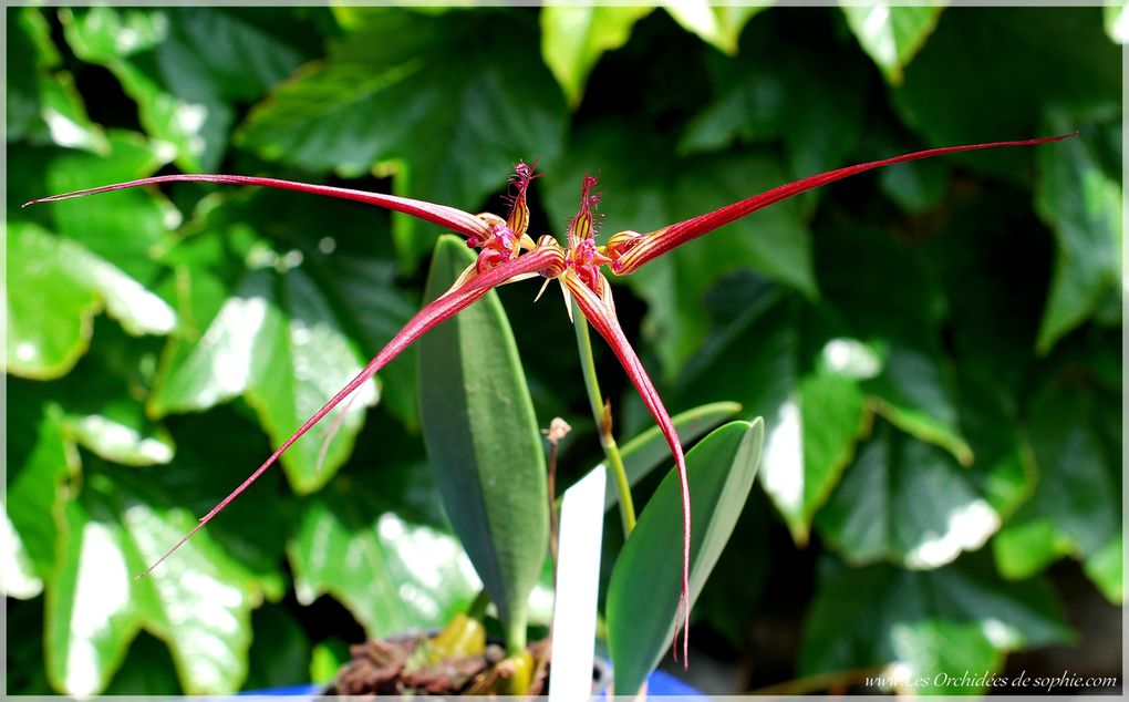 Ma petite collection de Bulbophyllum