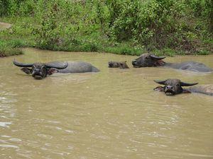 Les buffles qui adorent prendre des bains !