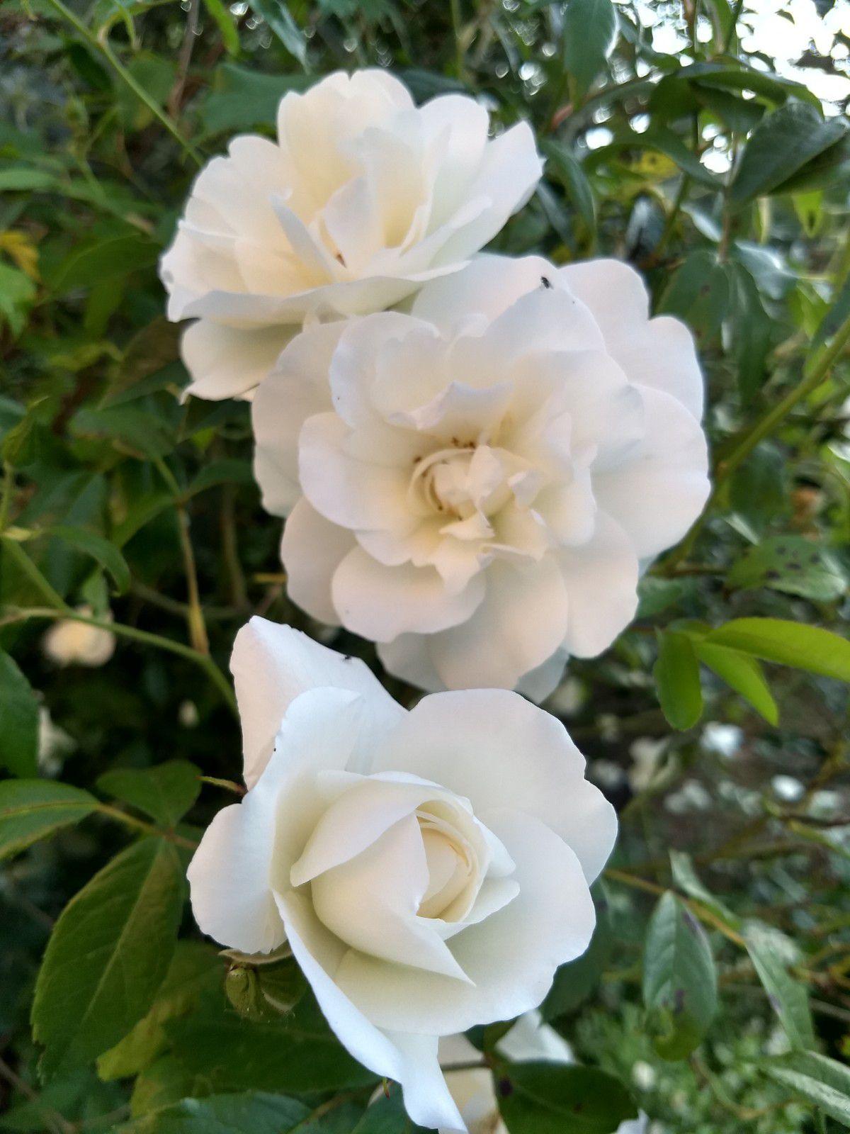 Les premières roses de juin