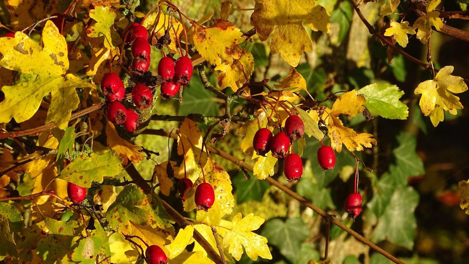 Les fruits de l'aubépine sont mûrs. Ils ont la forme d'un petit tonnelet de couleur rouge : on les appelle des cenelles. Ils font partis des fruits comestibles de la haie... Photo : JLS (Cliquez pour agrandir)